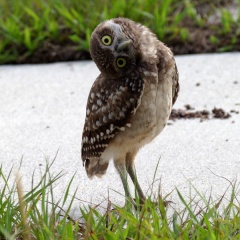 A real burrowing owl!